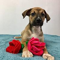 Adopt A Pet :: Tannia - Joliet, IL