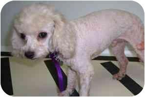 Poodle (Toy or Tea Cup)/Maltese Mix Dog for adoption in Melbourne, Florida - TOLIVER