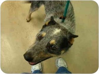 Australian Cattle Dog Dog for adoption in Nichols Hills, Oklahoma - Dundee