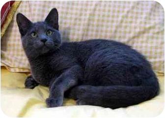 Domestic Shorthair Kitten for adoption in Overland Park, Kansas - Sasha