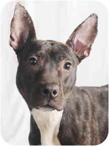 Basenji Mix Dog for adoption in Chicago, Illinois - Ericka