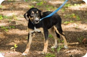 Spaniel (Unknown Type)/Hound (Unknown Type) Mix Puppy for adoption in Media, Pennsylvania - Annie