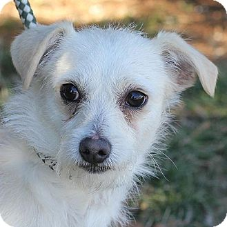 Jack Russell Terrier Mix Dog for adoption in Springfield, Illinois - Gabe