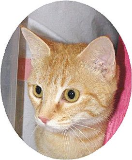 Domestic Shorthair Cat for adoption in Mobile, Alabama - Katniss