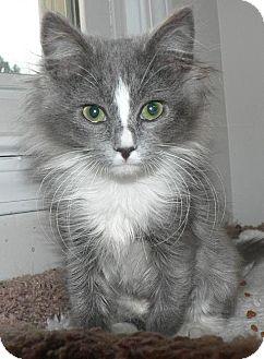 Domestic Mediumhair Kitten for adoption in Hendersonville, Tennessee - Tess