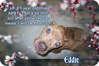 American Staffordshire Terrier Dog for adoption in muskogee, Oklahoma - EDDIE