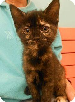 Domestic Shorthair Kitten for adoption in Reston, Virginia - Grace
