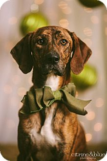 Plott Hound Dog for adoption in Portland, Oregon - Clay