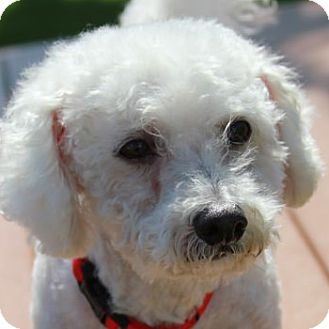 Bichon Frise Mix Dog for adoption in La Costa, California - Rascal