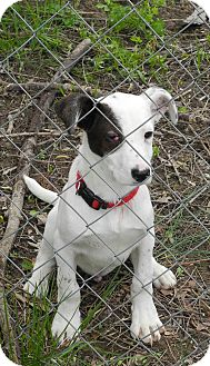 Dalmatian/English Setter Mix Puppy for adoption in Centerpoint, Indiana - Pirate