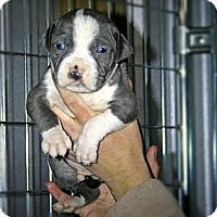 Adopt A Pet :: Trina Litter - Spring City, PA