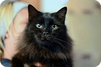 Domestic Longhair Cat for adoption in Cary, North Carolina - Sammy
