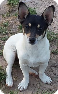 Jack Russell Terrier/Rat Terrier Mix Puppy for adoption in Jefferson, Texas - Nora