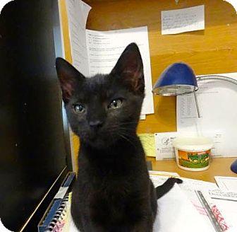 Domestic Shorthair Kitten for adoption in Colmar, Pennsylvania - Layla