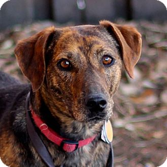 Terrier (Unknown Type, Medium)/Mountain Cur Mix Dog for adoption in Craig, Colorado - Pip