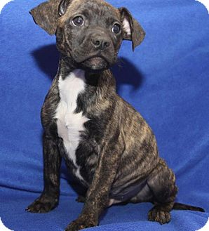 Boxer Mix Puppy for adoption in Orland Park, Illinois - Ziggy