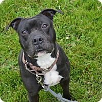 Pit Bull Terrier Mix Dog for adoption in East Smithfield, Pennsylvania - Neo