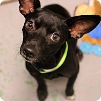 Adopt A Pet :: Bullet - Atlanta, GA