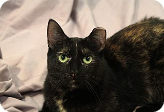 Domestic Shorthair Cat for adoption in St. Louis, Missouri - Lottie