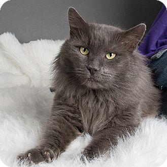 Domestic Mediumhair Cat for adoption in Wilmington, Delaware - Smokey