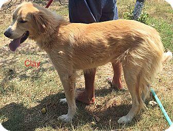 Golden Retriever Mix Dog for adoption in BIRMINGHAM, Alabama - Clay