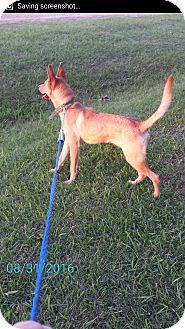 Carolina Dog Mix Dog for adoption in Cranston, Rhode Island - Dani (fostered in Louisiana)