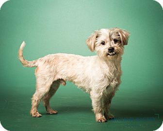 Shih Tzu/Tibetan Terrier Mix Dog for adoption in Norwalk, Connecticut - Barnsley  - MEET ME