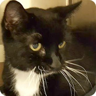 Domestic Shorthair Cat for adoption in Taylor, Michigan - BUBBY