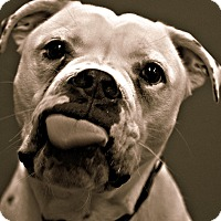 American Bulldog/Boxer Mix Dog for adoption in Dunkirk, New York - Rocky