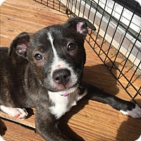 Adopt A Pet :: Zipsy - Patterson, NY