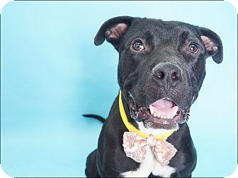 American Pit Bull Terrier/Labrador Retriever Mix Dog for adoption in Phoenix, Arizona - BOSS
