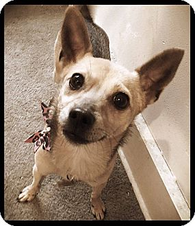 Chihuahua/Mixed Breed (Small) Mix Dog for adoption in Chillicothe, Ohio - Sunny