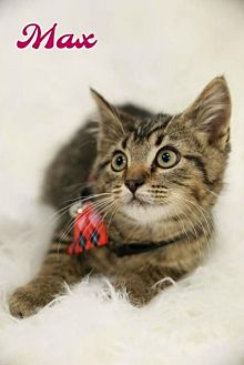 Domestic Mediumhair Cat for adoption in Knoxville, Tennessee - Max Male Kitten