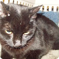 Bombay Cat for adoption in Inverness, Florida - CUDDLES