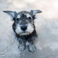 Adopt A Pet :: Tortellini - Eugene, OR