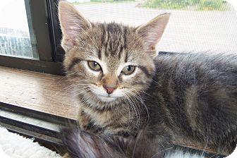 Domestic Shorthair Kitten for adoption in Medford, Wisconsin - COSETTA