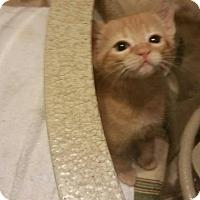 Adopt A Pet :: Amelia - Mansfield, TX
