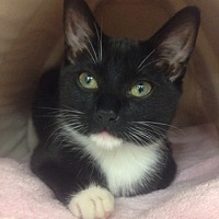 Domestic Shorthair Kitten for adoption in Hillside, Illinois - Sophie - 14wk - Sweet