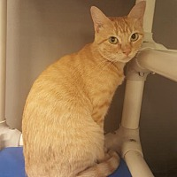 Adopt A Pet :: Shnuggles - Austin, TX