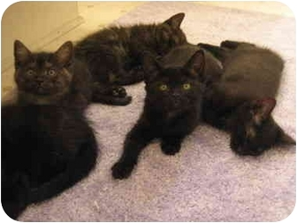 Domestic Shorthair Kitten for adoption in Irvine, California - Black Kittens