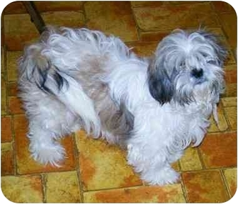 Shih Tzu Dog for adoption in Gallatin, Tennessee - Sasha