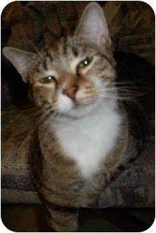 Domestic Shorthair Cat for adoption in Owatonna, Minnesota - Sassy