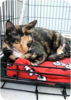 Domestic Mediumhair Cat for adoption in Los Angeles, California - Erin