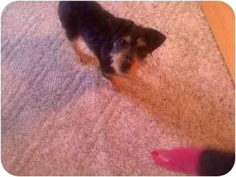 Miniature Schnauzer Mix Puppy for adoption in Foster, Rhode Island - James Dean