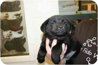 Chow Chow Mix Puppy for adoption in Plainfield, Illinois - Gail