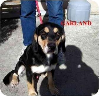 Cocker Spaniel/Hound (Unknown Type) Mix Dog for adoption in Slidell, Louisiana - Garland