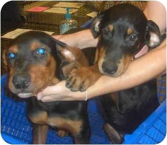 Doberman Pinscher/Rottweiler Mix Puppy for adoption in Mesa, Arizona - Rotti/Dobie