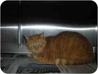 "Domestic Shorthair Cat for adoption in MARION, Virginia - ""Garfield"""