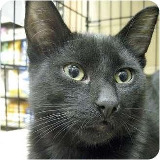 Domestic Shorthair Kitten for adoption in Toronto, Ontario - Chester