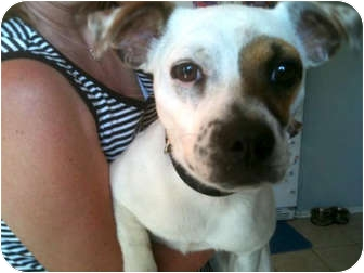 Jack Russell Terrier Mix Dog for adoption in Houston, Texas - Hazel in Houston